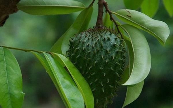 corossol feuilles bienfaits