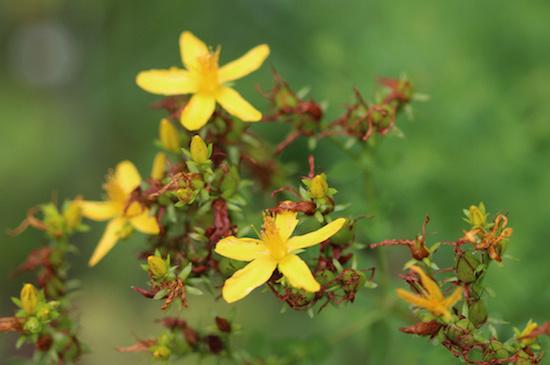 bienfaits des fleurs de Bach
